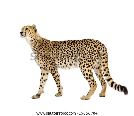 Cheetah - Acinonyx jubatus in front of a white background #15856984