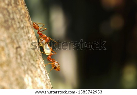 macro close up ants teamwork are helping to transport food,Behavior of ants. #1585742953