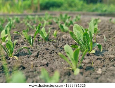 Petunia seedlings in a horticulture garden, taken before the start of winter season in West Bengal. #1585791325