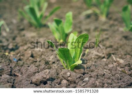 Petunia seedlings in a horticulture garden, taken before the start of winter season in West Bengal. #1585791328
