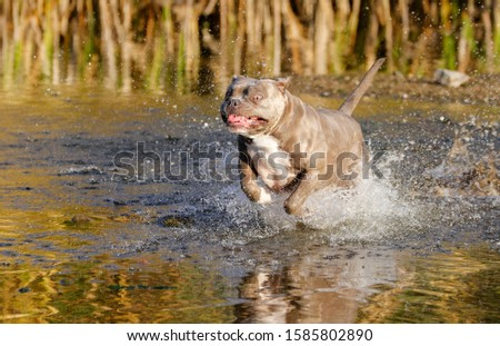 Pitbull, bulldog mixed dog running through the water