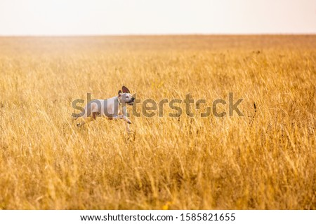 Pointer dog hunting. Dog run on field trial, outdoors, horizontal. #1585821655