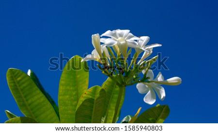 Frangipani flowers, O'ahu, Hawaii, USA #1585940803