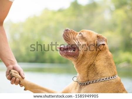 beautiful brown gentle pitbull dog at the water