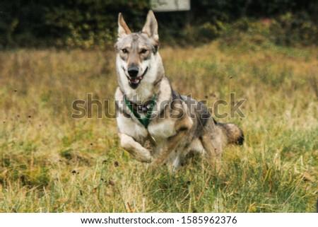 Fast Dogs Running on Grass #1585962376