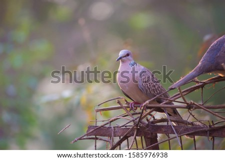 Dove Bird sitting and looking away, in its natural habitat with a soft blurry background. #1585976938