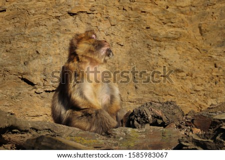 Monkey barbary macaque (Macaca sylvanus), also known as barbary ape or magot sitting on rock with face towards the sun and taking sunbathe. Animal in natural habitat. Habitat North Africa, Gibraltar. #1585983067
