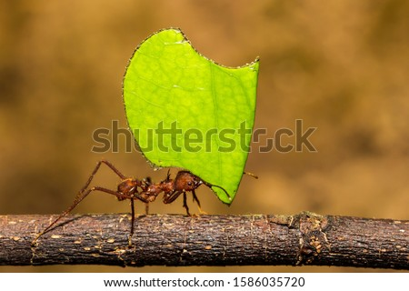 Leafcutter Ant carrying a leaf to its nest Royalty-Free Stock Photo #1586035720