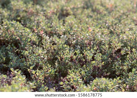 Continuous thickets of bog whortleberry, dwarf blueberry (Vaccinium uliginosum). Bushy tundra, mountain tundra beyond Arctic circle. Flora of Lapland