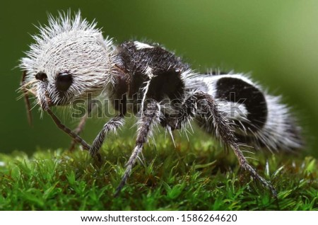 The panda ant  is a species of hymenoptera insect from the Mutillidae family.