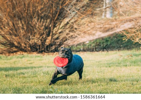 Active Black Cane Corso Dog Play Running With Plate Toy Outdoor In Park. Dog Wears In Warm Clothes. Big Dog Breeds. #1586361664