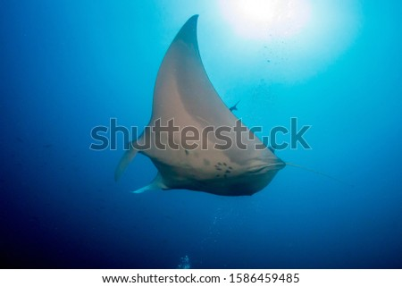 Huge Oceanic Manta Ray in a blue, tropical ocean (Andaman Sea) #1586459485