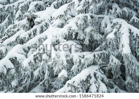 Close-up thick fluffy snowy fir trees stand in the forest on a frosty winter day. Concept Harsh Northern Nature. Beauty forever green trees #1586471824