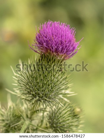 a single purple top with green with thorns milk thistle in a field #1586478427