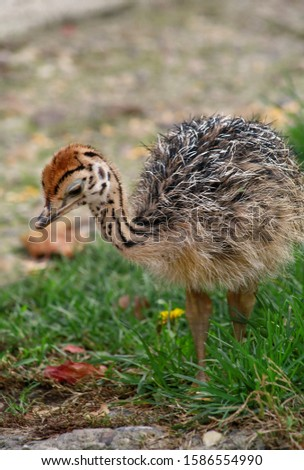 Portrait of little an african ostrich chick at ostrich farm. Pretty cute ostrich chicken of 5 days old walking in green grass and field at zoo. Small young ostrich bird explores natural environment. #1586554990