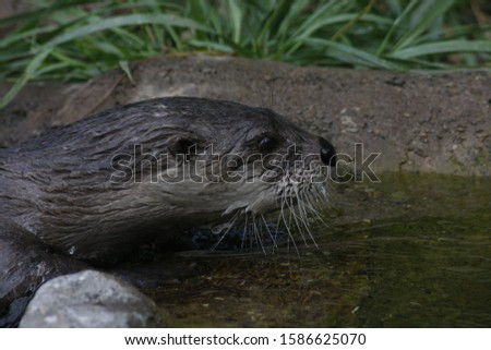 This is a picture of a river otter, swimming up stream.