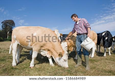 Livestock Farmer Feeding Cattle In Field #1586684989