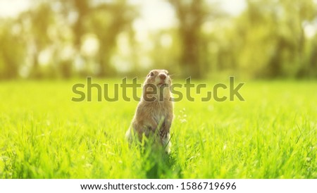 rodent on a summer lawn in the sun. portrait of a wild gopher.