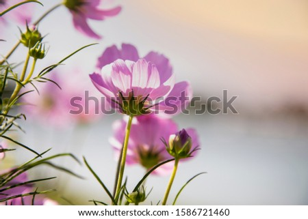 Beautiful Pink and White Cosmos flowers  under sunlight in garden.  sunlight morning. #1586721460