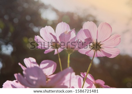 Beautiful Pink and White Cosmos flowers  under sunlight in garden.  sunlight morning. #1586721481