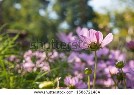 Beautiful Pink and White Cosmos flowers  under sunlight in garden.  sunlight morning. #1586721484