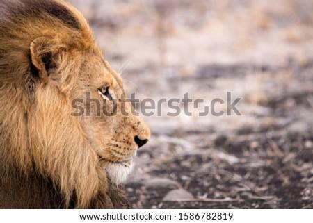 Lion Wild Animal Africa Animal #1586782819