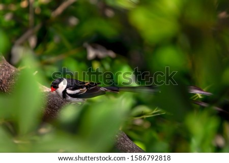 A male pin-tailed whydah perches on a branch, looking towards the camera and displaying its long tail feathers #1586792818