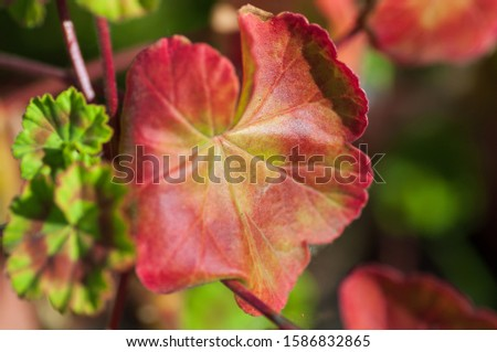 The colored leaf of Pelargonium in close-up. A Geranium-like an evergreen plant. #1586832865