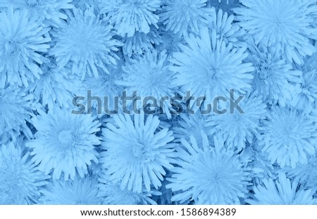 Beautiful dandelions floral background in trendy trendy blue color. Color of the year 2020 concept. Flat lay. Close-up. Mockup for your design. #1586894389
