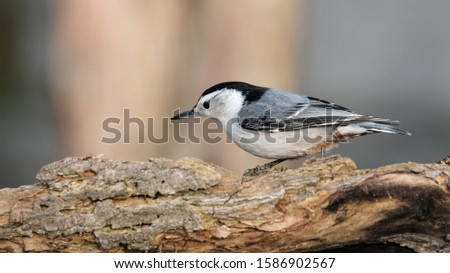 A nuthatch that came in looking for food. #1586902567
