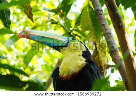 Keel-billed Toucan (Ramphastos sulfuratus) taken in Costa Rica #1586939272