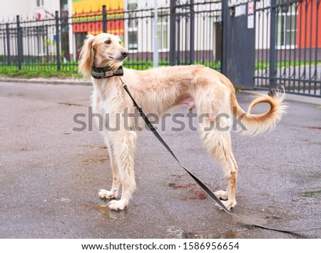 Russian canine Greyhound breed hunting animals possesses wavy silk coat beautiful figure long subtler its feet narrow muzzle. Horizontal shot close-up portrait of dogs muzzle. Walking pet in autumn #1586956654