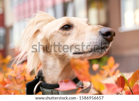 Russian canine Greyhound breed hunting animals possesses wavy silk coat beautiful figure long subtler its feet narrow muzzle. Horizontal shot close-up portrait of dogs muzzle. Walking pet in autumn #1586956657