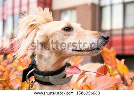 Russian canine Greyhound breed hunting animals possesses wavy silk coat beautiful figure long subtler its feet narrow muzzle. Horizontal shot close-up portrait of dogs muzzle. Walking pet in autumn #1586956663