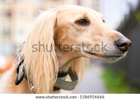 Russian canine Greyhound breed hunting animals possesses wavy silk coat beautiful figure long subtler its feet narrow muzzle. Horizontal shot close-up portrait of dogs muzzle. Walking pet in autumn #1586956666