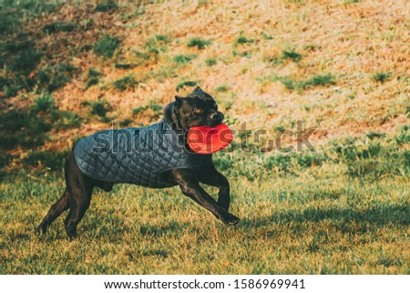 Active Black Cane Corso Dog Play Running With Plate Toy Outdoor In Park. Dog Wears In Warm Clothes. Big Dog Breeds. #1586969941