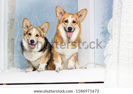 welsh corgi dog on the windowsill #1586971672