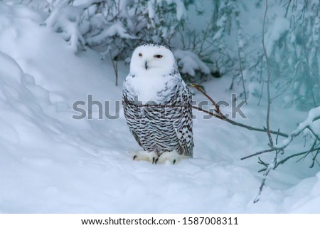 Polar owl, sometimes Snowy Owl (scientific name Bubo Scandiacus) is a monotypic species of the owl family Strigidae. In the picture we see beautifully posing snowy owl. Selective focus.