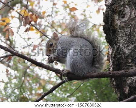 grey squirrel (Sciurus carolinensis) animal of phylum Chordata, class Mammalia (mammals) #1587080326
