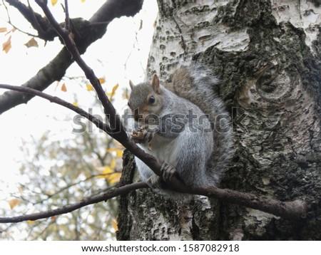 grey squirrel (Sciurus carolinensis) animal of phylum Chordata, class Mammalia (mammals) #1587082918