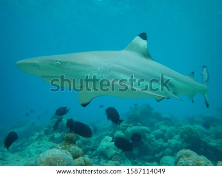 A very friendly and curious adult female blacktip reef shark in the Maldives during snorkeling alone at around 2 meters close to the beach. Picture taken by a tg5 via wide angle, shark was 40cm away