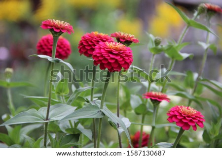 Amazing landscape of a group of red flowers round shaped and ball shaped. #1587130687