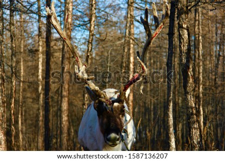 A closeup picture of a white elk with big horns and a brown face in a forest under a blue sky