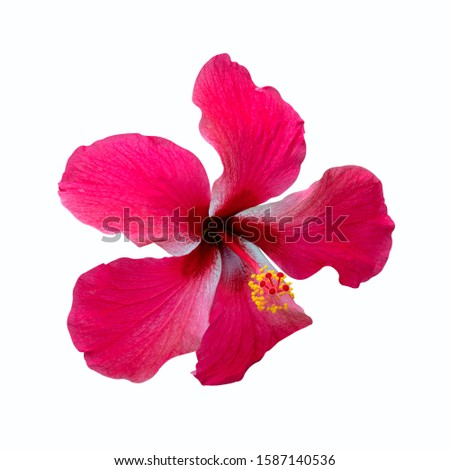 Red Shoe flowers of Hibiscus flowers isolated on white background with clipping path. #1587140536
