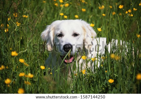 Portrait of a golden retriever puppy in a field of buttercups #1587144250