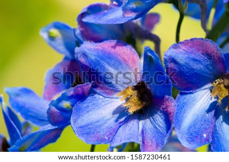 Delphinium is a genus of about 300 species of perennial flowering plants in the family Ranunculaceae, native throughout the Northern Hemisphere and also on the high mountains of tropical Africa. #1587230461
