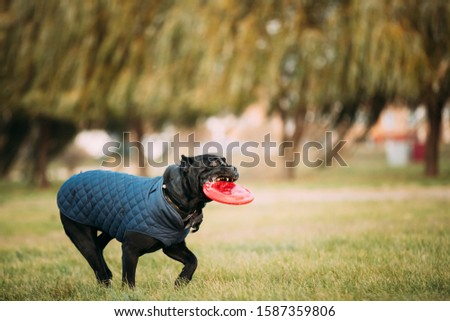 Active Black Cane Corso Dog Play Running With Plate Toy Outdoor In Park. Dog Wears In Warm Clothes. Big Dog Breeds. #1587359806