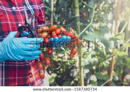 Farmer ripe red organic tomato harvest in hands. #1587380734