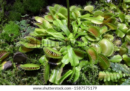 Venus fly trap flowers - carnivorous plants growing in soil in botanical garden - Dionaea Muscipula #1587575179
