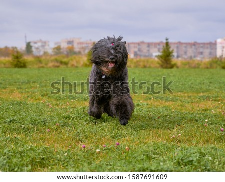 Terrier Zordan Black runs across field meadow green grass, happily wagging tail against background of fir trees and houses of city. Full length. Walking pet in autumn. Horizontal shot of animal #1587691609